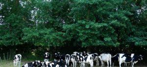 エシレバターで有名なエシレ村の乳牛たち